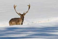 Cerfs communs d'isolement sur le fond blanc de neige Photographie stock libre de droits