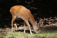 Cerfs communs d'oeufs de poisson Photo stock