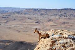 Cerfs communs d'OEUFS DE POISSON au bord d'une falaise Photographie stock libre de droits