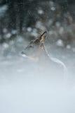 Cerfs communs d'oeufs de poisson dans la neige aux chutes de neige Photos libres de droits