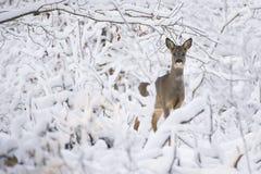 Cerfs communs d'oeufs de poisson dans la neige pendant l'hiver Photographie stock libre de droits