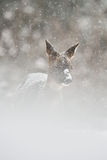 Cerfs communs d'oeufs de poisson dans la tempête de neige Image libre de droits