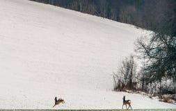 Cerfs communs d'oeufs de poisson en hiver de champ Images stock