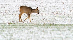 Cerfs communs d'oeufs de poisson en hiver de champ Images libres de droits