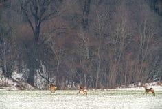 Cerfs communs d'oeufs de poisson en hiver de champ près de forêt Images stock