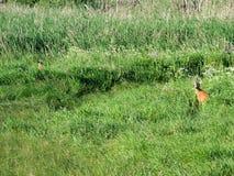 Cerfs communs d'oeufs de poisson parmi l'herbe Images libres de droits
