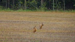 2 cerfs communs d'oeufs de poisson se tenant sur un champ Photographie stock