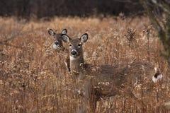 Cerfs communs/daine posant dans les régfions boisées Image stock