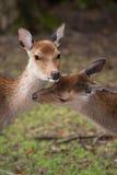 Cerfs communs dans l'amour Photos libres de droits