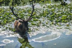 Cerfs communs dans l'eau Images stock