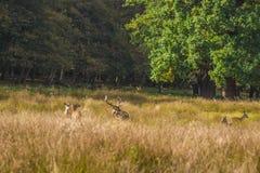 Cerfs communs dans l'herbe Image stock