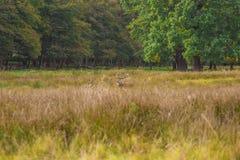 Cerfs communs dans l'herbe Photographie stock