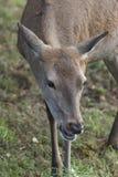 Cerfs communs dans l'herbe image libre de droits