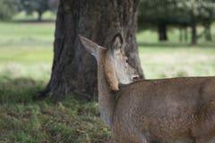 Cerfs communs dans l'herbe Images stock