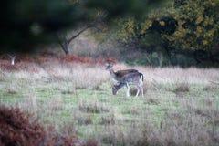 Cerfs communs dans l'herbe, nouvelle forêt R-U photographie stock libre de droits
