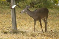 Cerfs communs dans l'herbe par courrier Photographie stock libre de droits