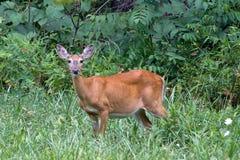 Cerfs communs dans l'herbe verte Image libre de droits