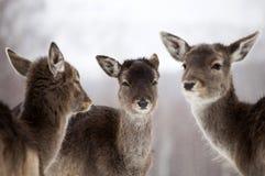 Cerfs communs dans l'hiver Photographie stock
