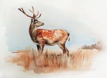 Cerfs communs dans l'illustration d'aquarelle de champ Image libre de droits