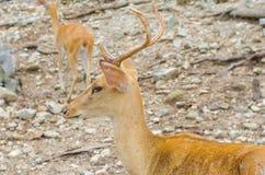Cerfs communs dans la for Photos libres de droits
