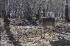 Cerfs communs dans la for Photo stock