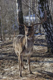 Cerfs communs dans la for Photos libres de droits