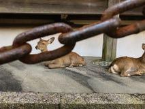 Cerfs communs dans la cage Animal en captivité regardant par les barres d'une cage Animal derrière la cage Bonne illustration au  photo libre de droits