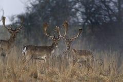 Cerfs communs dans la campagne Photographie stock