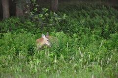 Cerfs communs dans la dissimulation Photographie stock