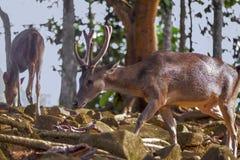 Cerfs communs dans la faune de forêt image stock
