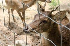 Cerfs communs dans la ferme chez Chiang Rai, Thaïlande photographie stock