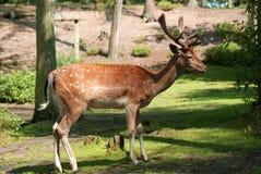 Cerfs communs dans la fin de forêt  Photographie stock