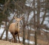 Cerfs communs dans la forêt Image libre de droits