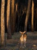 Cerfs communs dans la forêt Photographie stock