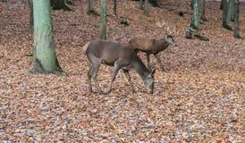 Cerfs communs dans la forêt photo libre de droits