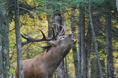 Cerfs communs dans la forêt canadienne dans Ontario photos stock
