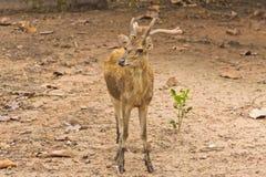 Cerfs communs dans la forêt d'automne Photo stock