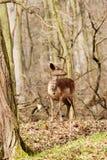 Cerfs communs dans la forêt européenne Photographie stock
