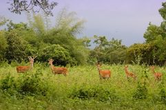 Cerfs communs dans la jungle Photo libre de droits