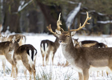 Cerfs communs dans la neige à Richmond Photos stock