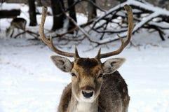 Cerfs communs dans la neige Images stock
