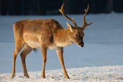 Cerfs communs dans la neige Photographie stock
