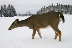Cerfs communs dans la neige 2 Images libres de droits