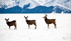 3 cerfs communs dans la neige Photographie stock