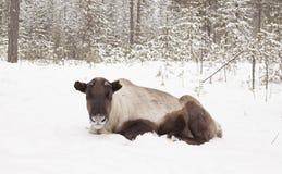Cerfs communs dans la neige. Image stock