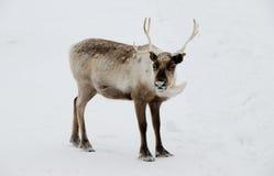 Cerfs communs dans la neige photos stock