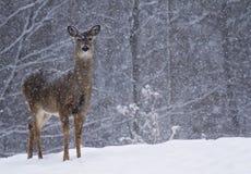 Cerfs communs dans la neige Photographie stock libre de droits