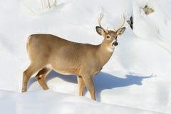 Cerfs communs dans la neige Photo stock