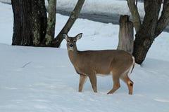 Cerfs communs dans la neige Photos libres de droits