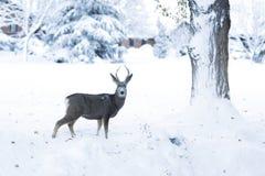 Cerfs communs dans la neige fraîche Images stock